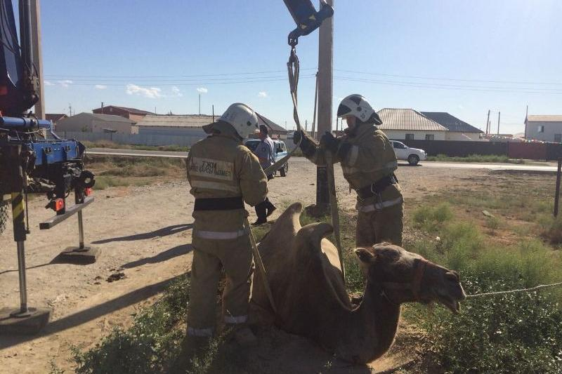 Верблюд провалился в колодец в Атырауской области