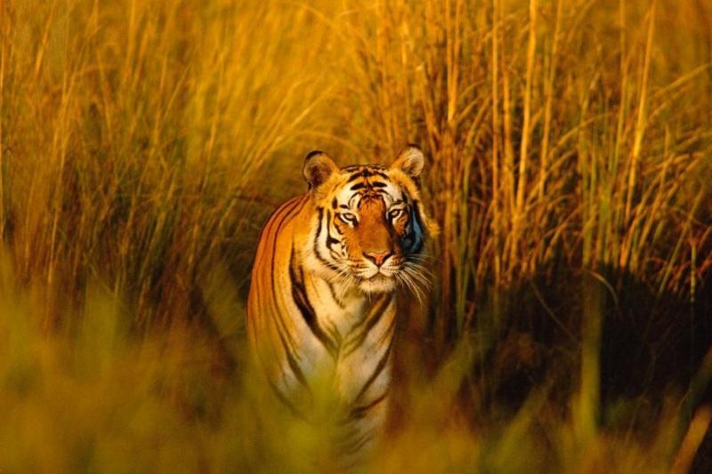 Туранским тигром заселят территорию созданного резервата «Иле-Балхаш»
