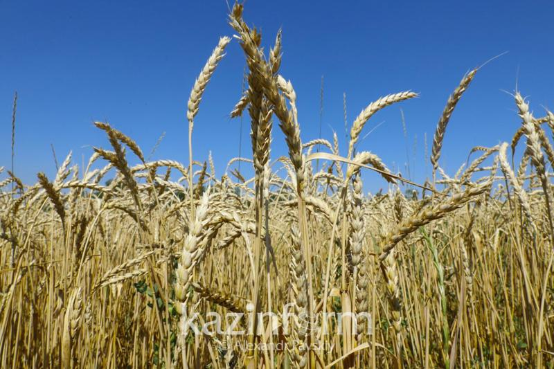 联合国粮农组织:2019年小麦产量有望回升