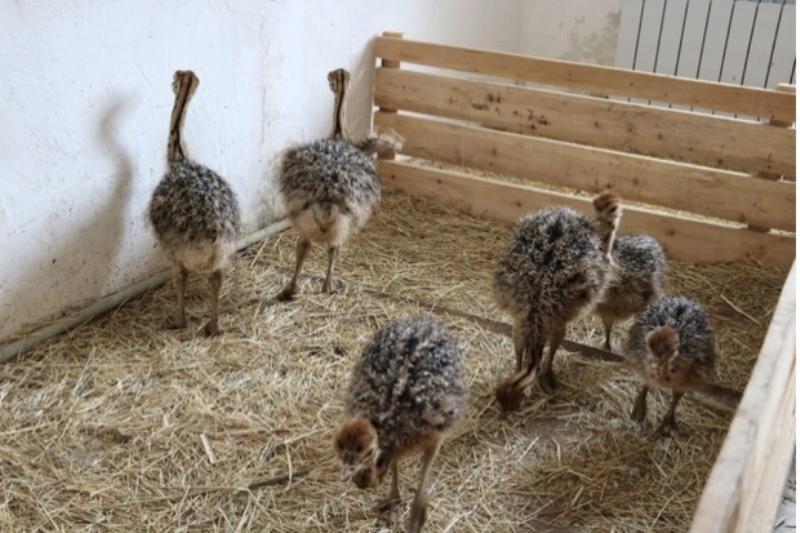 Шесть страусят впервые вылупились в зоопарке Шымкента