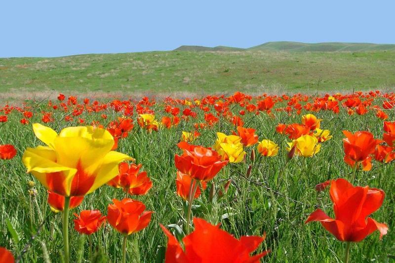 Tulip festival in Turkestan region to gain international status