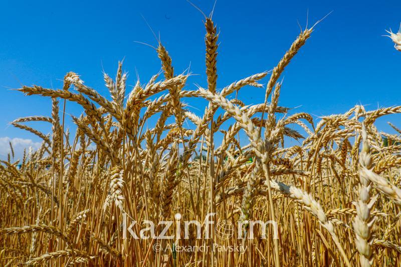 Экспортировать в Европу высокобелковую пшеницу намерены костанайцы