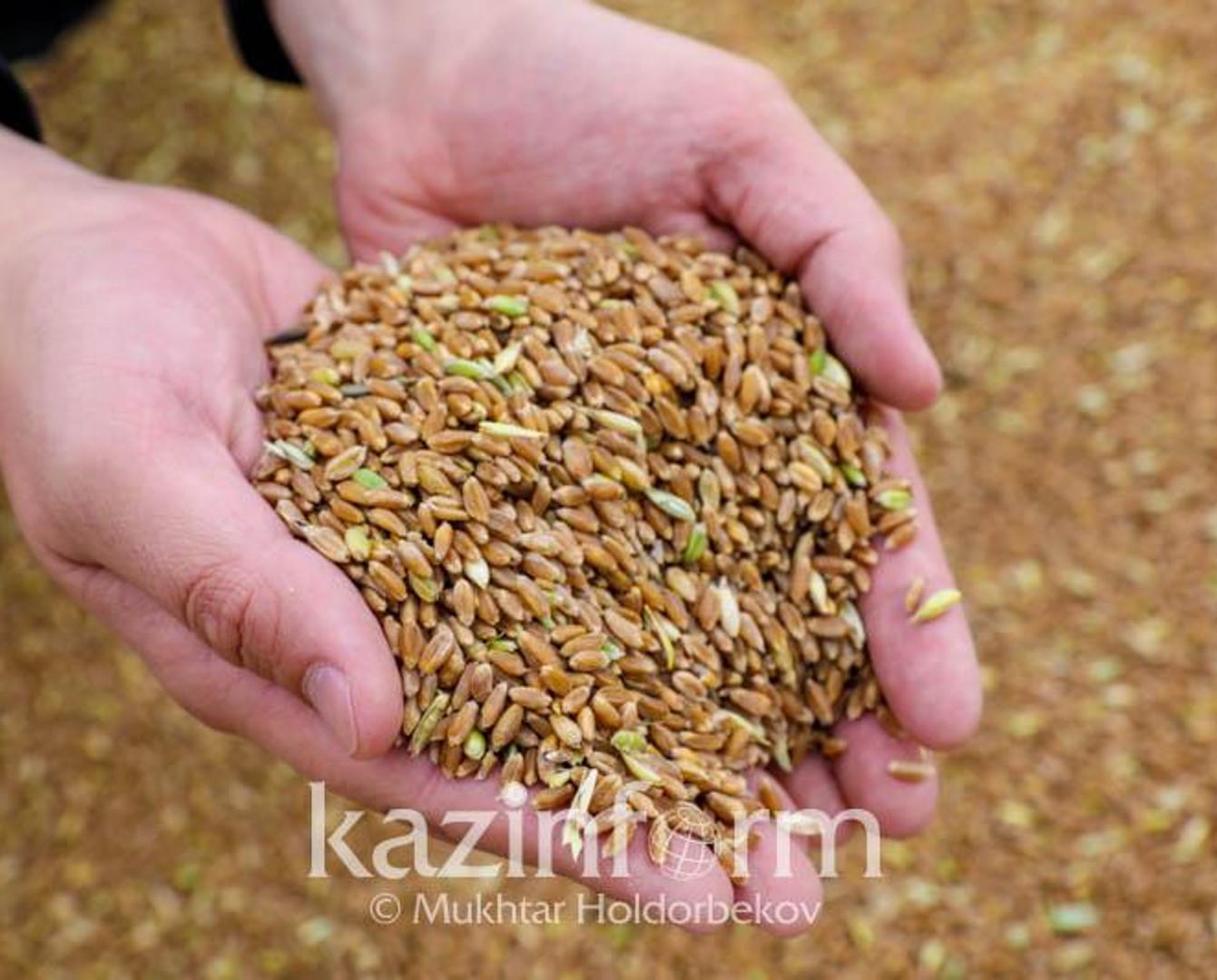 21,7 млн тонн зерна намолочено в Казахстане