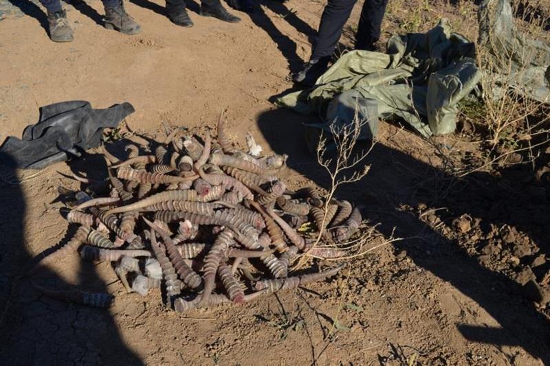 哈萨克斯坦首次公开销毁高鼻羚羊角及其制品