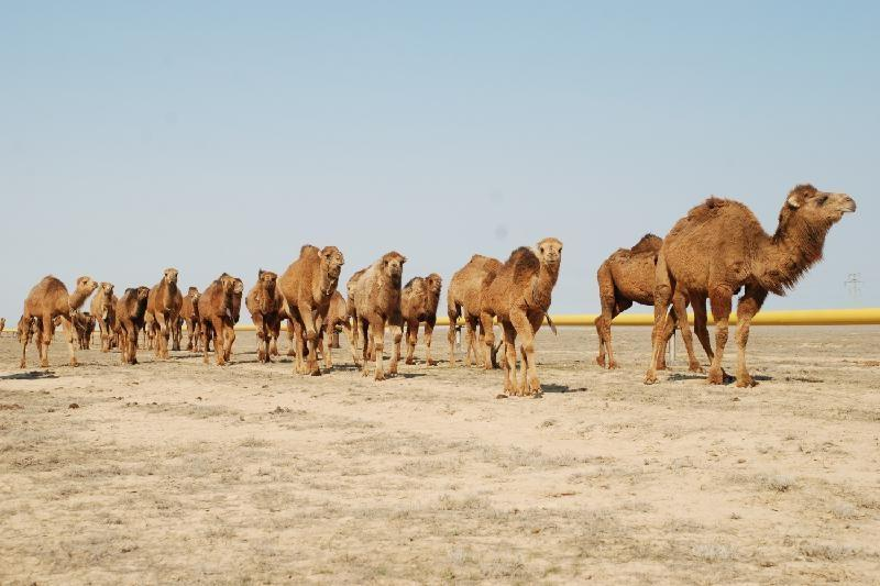 Emirati businessmen buying camels from Kyzylorda rgn