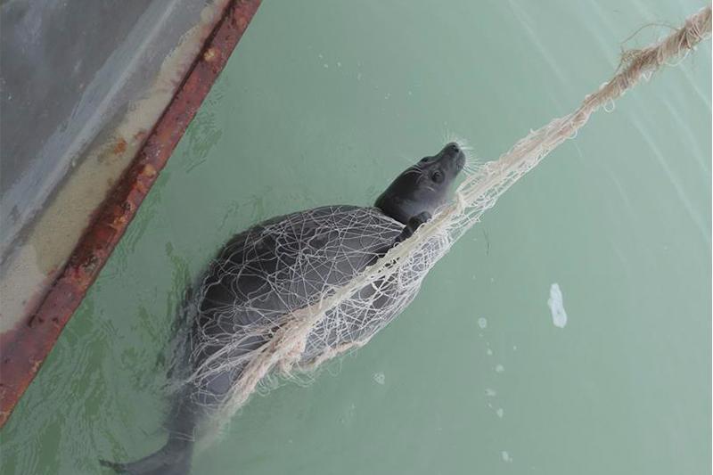 Каспийде браконьерлердің ауына түсіп қалған итбалықтар құтқарылды