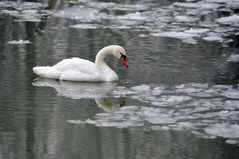 北哈州解救16只因严寒被困的天鹅