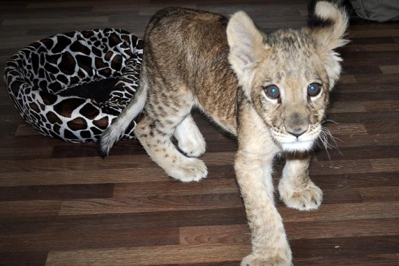 В алматинском зоопарке умерла маленькая львица