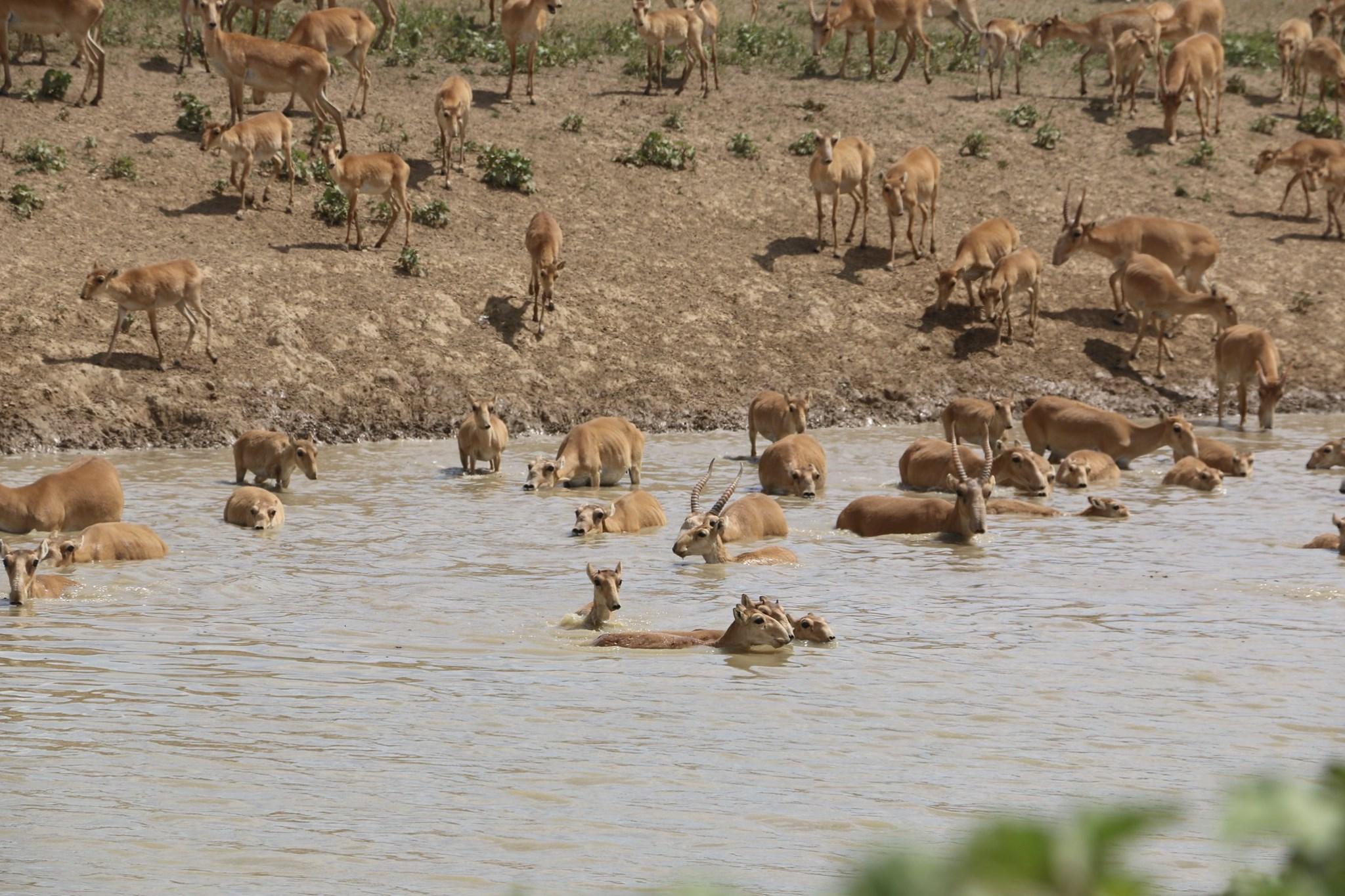 Численность сайгаков в Казахстане увеличилась на 55%