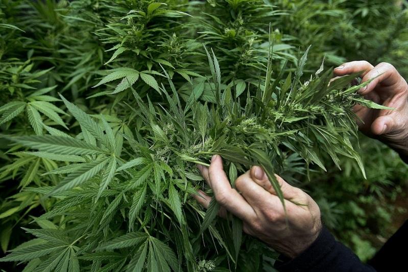 Жетісу полицейлері марихуана өсірген екі азаматты ұстады