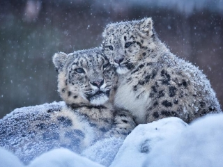 Kazakh scientists to explore snow leopards in mountains of Almaty