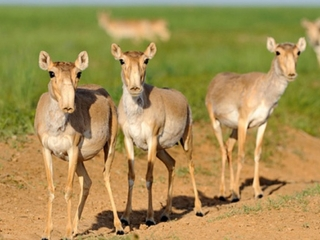 Number of saiga antelopes in Kazakhstan increased by 55%