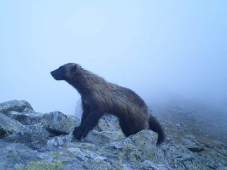 Trail camera captures wolverine in E Kazakhstan